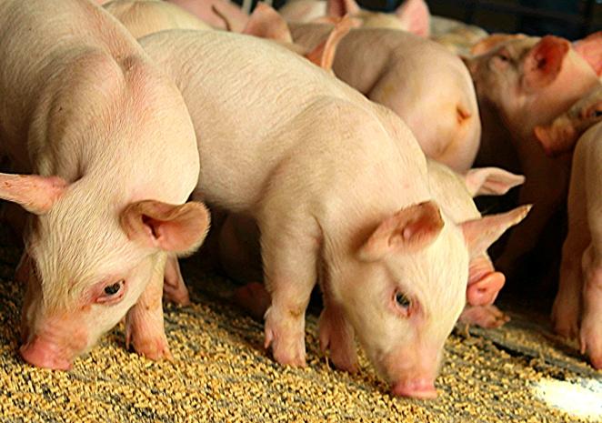 Комбикорм для свиней и поросят в Рязани